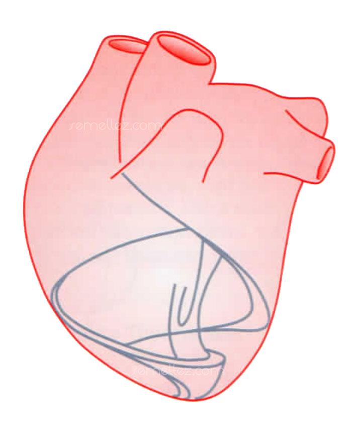 forme Hélicoïdale spiralée du coeur